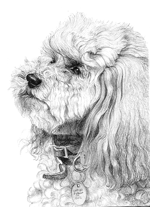 Drawing portrait of a poodle with graphite pencils - Dessin caniche ...